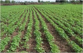 रिज एण्ड फरो मेड़ नाली पद्धति से सोयाबीन की खेती से किसानों को बडे फयादे के आसार